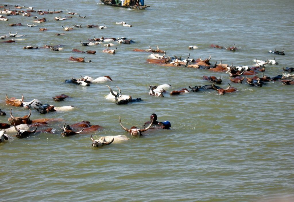 Image of cattle swimming across the river