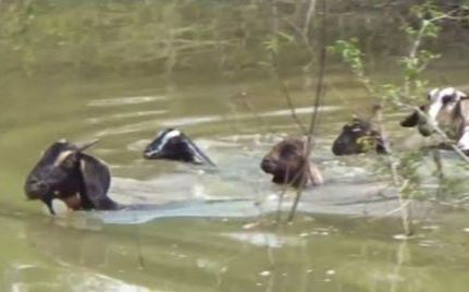 image of goats swimming across the river